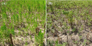 Horseweed (marestail) control options in fallow prevent plant fields