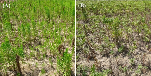 Horseweed control