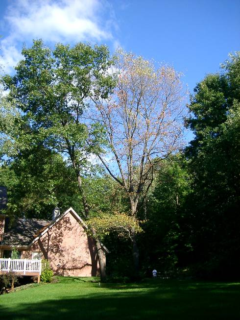 Red Oak Quickly Killed By The Wilt Fungus Photo Credit Rebecca Finneran