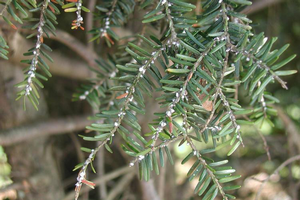 Hemlock woolly adelgid. Photo by Leslie J. Mehrhoff, University of Connecticut, Bugwood.org.