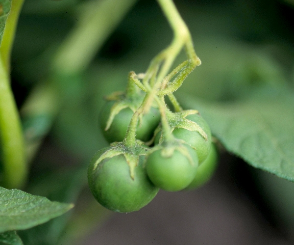 What fruit is growing on my potato plants? - MSU Extension