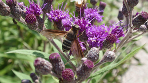 A bee fly on an Ironweed flower