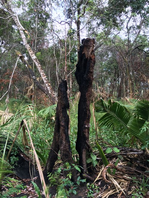 Photo of a tree burned in large-scale fires that occurred during a major Amazon forest drought in 2015/2016. This tree had been on the border of a savanna-to-forest transition zone in Alter do Chão, Santarém, Pará, Brazil.