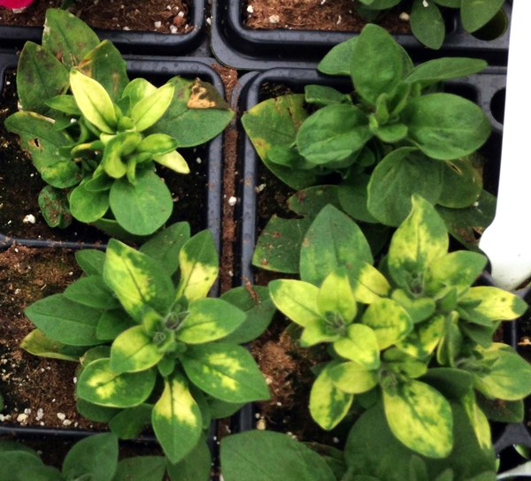 Common questions and answers about tobacco mosaic virus
