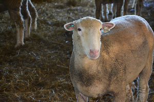 Mastitis in sheep and goats