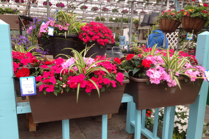 Colorful deck boxes with a spider plant and colorful impatiens. Photo: Heidi Wollaeger, MSU Extension.