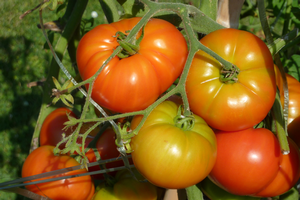 Tomatoes and the science behind them