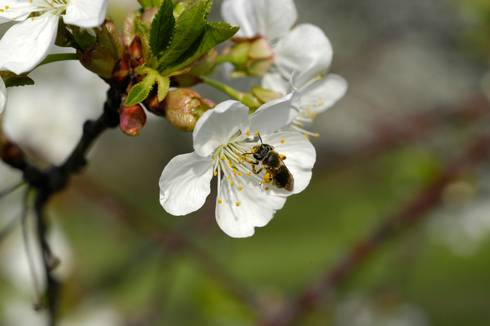 Bee on a cherry blossom.