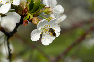 Biological control and Integrated Pest Management (IPM) for protecting  pollinators