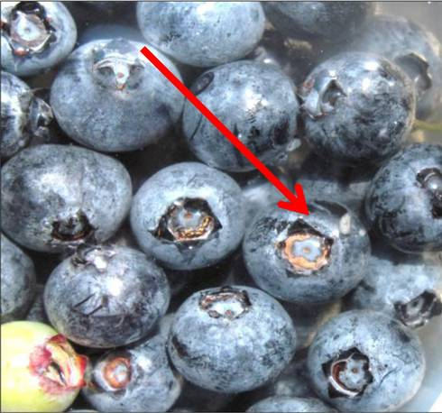 Spotted wing Drosophila in blueberries. Photo: Carlos Garcia-Salazar, MSUE