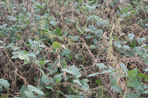 Heavy incidence of white mold in a Cass County irrigated soybean field.