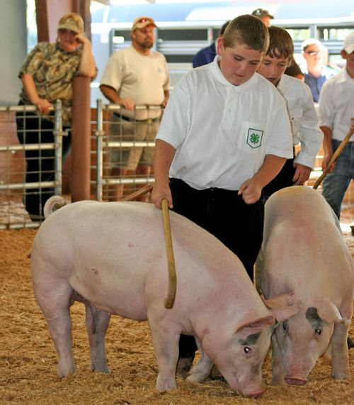 Boys showing pigs
