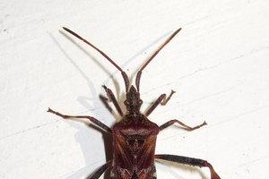Western conifer seed bug or brown marmorated stink bug?
