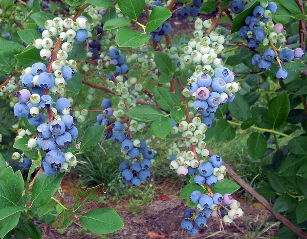 Clusters of ripening 'Jersey' blueberries just before first picking. Photo credit: Mark Longstroth, MSU Extension