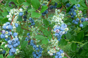 Heavy bloom, good pollination and irrigation leads to good fruit set and size in blueberries. Photo by Mark Longstroth, MSU Extension.