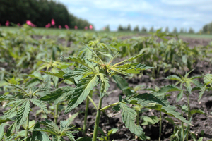 Industrial hemp webinar to focus on field production and irrigation topics