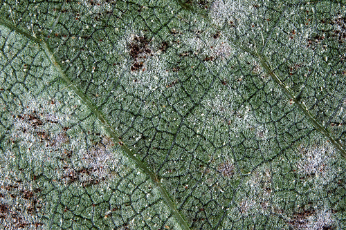 Near the end of the season, small, black fungal bodies are visible.