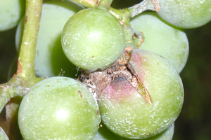Mid-season management of grape berry moth
