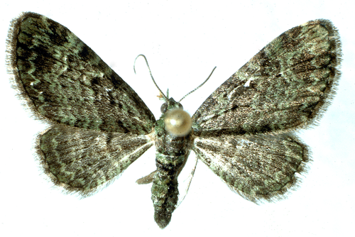 Adult is a grayish moth with mottled or scalloped dark striations toward the wing margins.