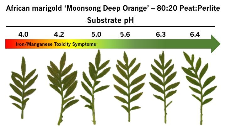Low substrate pH induced iron/manganese toxicity with the typical bronzing on the lower leaves of African marigold 'Moonsong Deep Orange'. Photo: W. Garrett Owen, MSU.