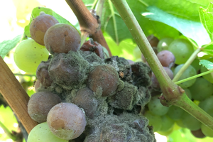 Managing botrytis bunch rot in grapes