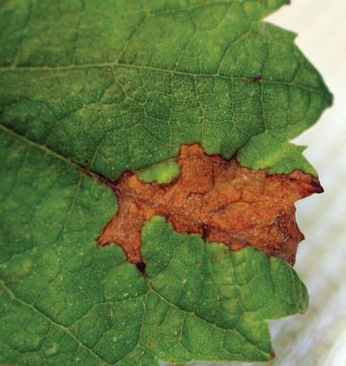 Irregular brown patches on leaf.