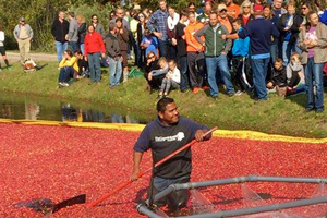 Cranberry harvest in Michigan