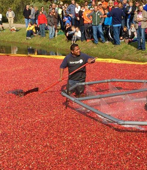 cranberry harvest in michigan msu extension
