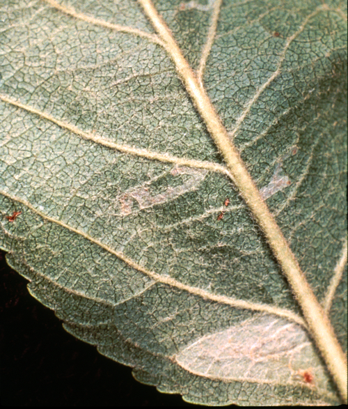 Early instar larval feeding on leaf tissues separates the outer layer of the leaf undersurface from the tissue above, causing a translucent mine, visible only from the leaf undersurface.