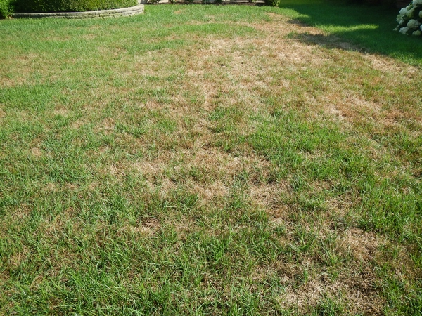 Thin lawns can benefit from interseeding.