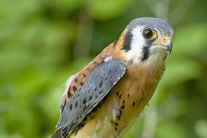 A male American kestrel. Providing nesting boxes for kestrals, which are known to feed on smaller, fruit-feeding birds, is a long-term strategy for reducing populations of birds that cause damage and crop loss on fruit farms. Photo: Greg Hume.