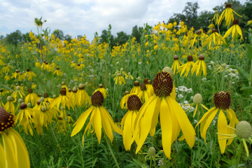 Pinnate prairie coneflower/Yellow coneflower