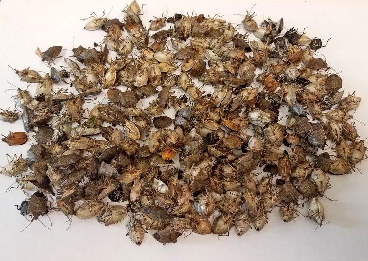 Pile of stink bugs
