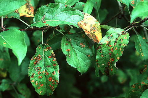 Lesions turn dark yellow to yellow-orange and develop a reddish border.