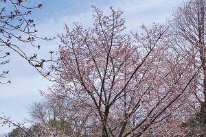 All-season trees: Sargent Cherry