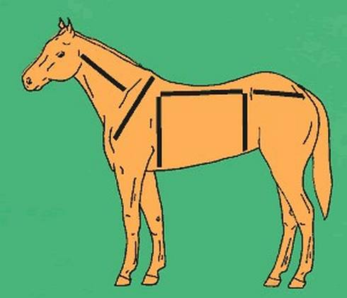 This drawing shows how you can divide the horse into three areas in order to determine balance. Photo from eXtension.