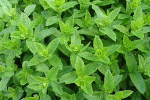 Peppermint and the science behind it
