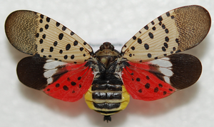 Invasive spotted lanternfly workshop held in Berrien County on March 6