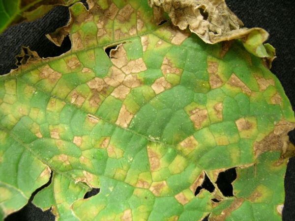 Photo 1. Topside of cucumber leaf with yellow lesions defined by the veins. All photos by Mary Hausbeck, MSU.