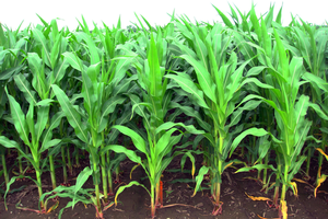 Corn growing in 20-inch rows.