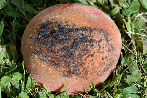 Rotted fruit appears similar to brown rot, but is slightly darker.