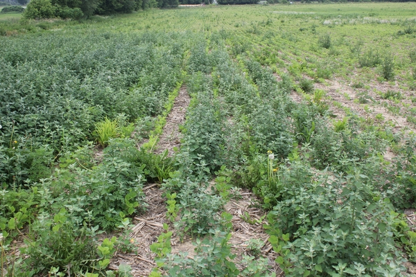Lambsquarter weed in soybeans