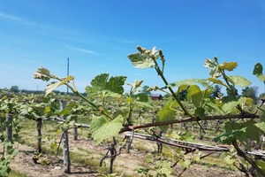 Michigan grape scouting report – May 27, 2020