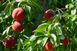 Peach harvest dates available on MSU Enviro-weather