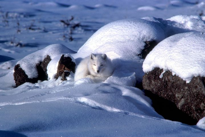 Arctic foxes adapt to winter by growing a thicker, white coat that better insulates them and serves as camouflage.