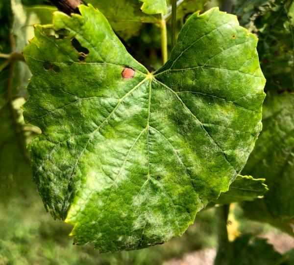 2018 Grapevine powdery mildew fungicide resistance survey