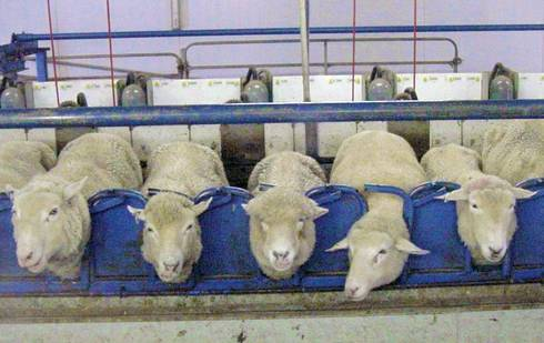 Sheep standing in a milking parlor.