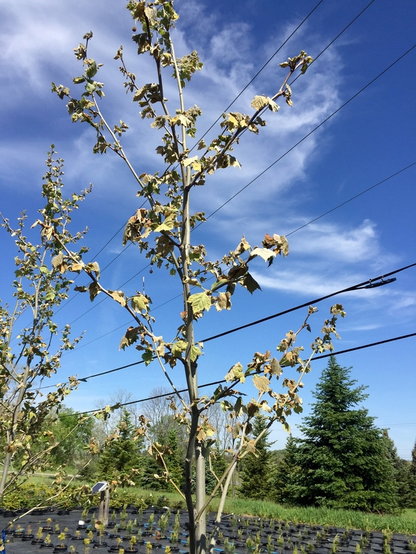 Photo 1. Late frost damage from May 8–9 frosts on London planetree. Photo by Dana Ellison.