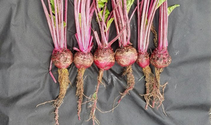 Managing Rhizomania, a new disease for Michigan red beets
