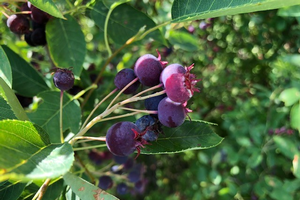 East Michigan fruit update – June 30, 2020